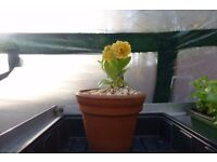 Auricula plants for sale from £2.50 to £4 in various colours all in flower or about to flower.