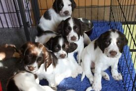 KC reg. English Springer Spaniel Puppies, Bitches only Home Bred.