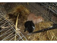 Lop rabbits beautiful male ginger lop and lovely female black and white