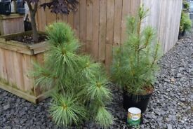 Himilayan Blue Pine - Pinus Wallichiana in 5 lt pot