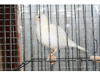 Fife Canaries, Breeding Cages