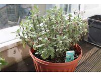 Sage plant with pot