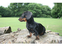 Standard Dachshund Girl /Black & Tan, Smooth Haired/