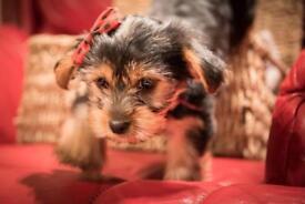 Yorskhire terrier