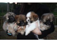 Stunning Lhasa Apso Puppies