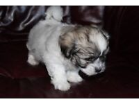 Maltese X Lhasa Apso Puppies reduced price for last 1