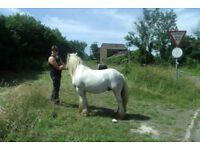 heavy cob stallion 12.2hh