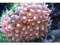 Rare Rose Bubble Tip Sea Anemones for Sale in Various Sizes