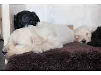 Notes of interest being taken for F3b Labradoodle puppies