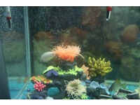 Aquarium fish free to good home mixture of tiger barbs guppies gouramis etc