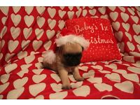 KC Registered PUG Puppies for sale, South Wales, Cardiff