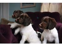Two female springer spaniel puppies for sale