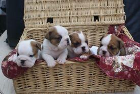 Red & White British Bulldog Puppies