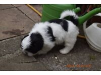 2 Adorable Pure Breed Shih Tzu Puppies For Sale