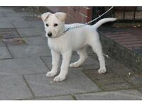 ***White Male German Shepherd Puppy ***