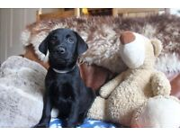 AVAILABLE NOW, Labrador Puppies