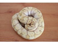 Banana royal ball python .Reduced
