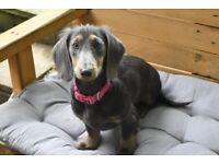 Blue and tan miniature dachshund