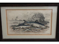 Antique 19th Century Fish Print Framed. Maritime Print Nautical Fisherman Fishing Boat Vintage