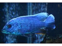 Fish Electric Blue BIG SALE SALE baby