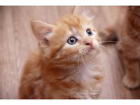 Beautiful marbled ginger male kittens