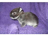 baby netherland dwarf rabbits for sale