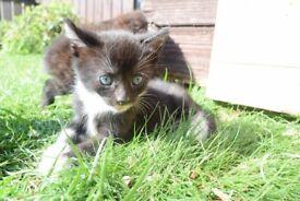8 week old kittens litter trained