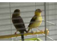 TWO CANARIES FOR SALE