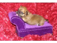 3/4 Chihuahua Pups looking for loving homes. Mum small Jackahuahua, Dad tiny KCReg L/C Chihuahua,