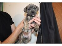**REDUCED**Cane Corso/ Mastiff Puppies looking for their forever homes (dog)