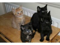 3 beautiful kittens left - 1 boy and 2 girls (Ginger is now re-homed)