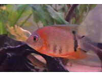 Rotkeil Severum (red shoulder) Male