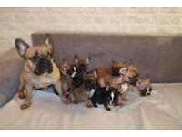 Beautiful Fawn and Sable French Bulldog Puppies