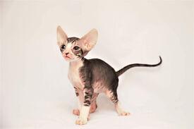 Cornish Rex kitten available to reserve