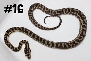 Hatchling Carpet Pythons Perth Perth City Area Preview