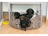 5 KC Registered Beautiful miniature dachshund puppies for sale.