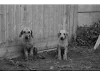Bedlington puppies for sale - 1 bitch and two dogs