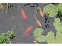 POND FISH for sale. Ghost Carp (8 - 12 ins) Red and Yellow Goldfish (6 - 9ins) SORRY ALL SOLD