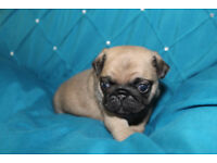 Chunky KC Registered Pug Puppies