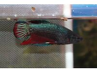 Samion betta fish