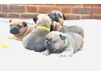French bulldog puppies available!