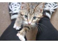 9 week old tabby fur baby - tiger 🐯