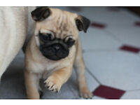4 beautiful pug puppies ready for new loving home ! :))