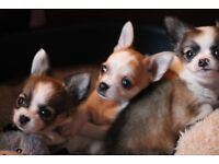 Beautiful Chihuahua Puppies!