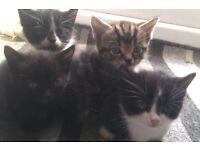 4 beautiful kittens 1 black ,2 black & white ,1 tabby