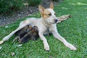 Kelpie X Smithfield Puppies Tully Cassowary Coast Preview