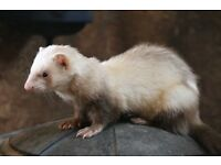 Ferrets looking for a new home