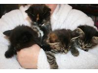 For Sale - 8 kittens male & female - Persian x Russian Blue