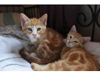 2 beautiful ginger kittens - £150 for both