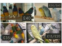 Budgies | Birds for Sale - Gumtree